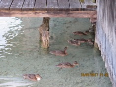 Chris found these ducks swimming around Wolfgang see