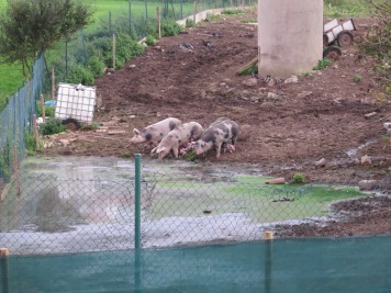 Piglets in Cóbreces