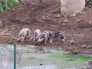 Pigs in Cóbreces