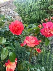Roses in the estate of Tabiano Castello