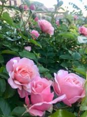 Roses in the estate of Tabiano Castello