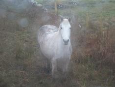 Clifden Pony