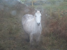 Clifden Pony